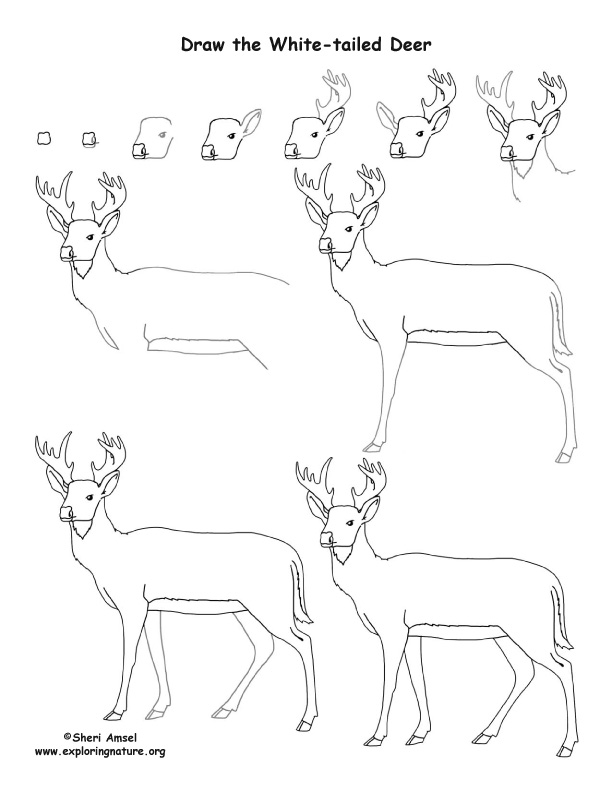 Deer (White-tailed) Coloring Lesson