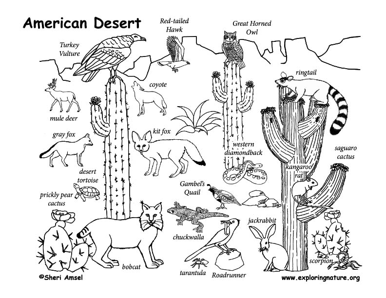 Line Drawing Of Desert Animals : Draw an american desert