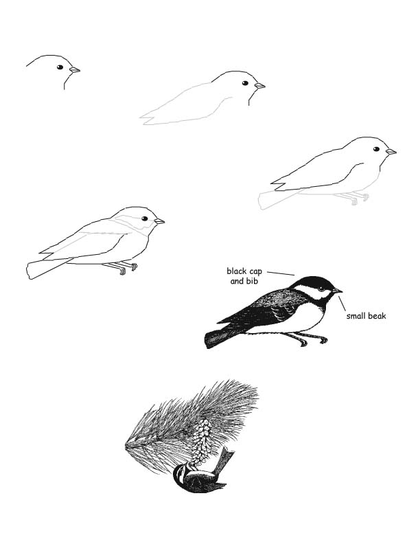 Chickadee  Black-capped  Drawing LessonBlack Capped Chickadee Drawing