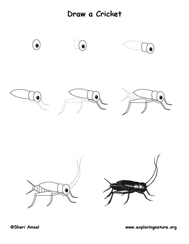 cricket insect drawing