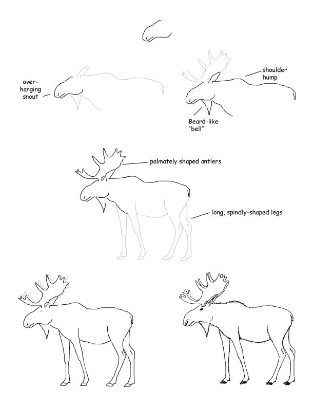 Moose Drawing Lesson
