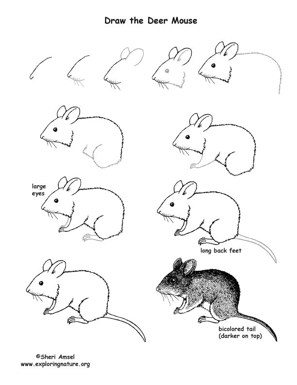Mouse deer drawing lesson