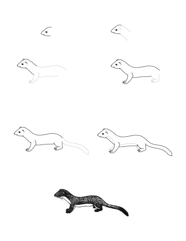 Weasel (Long-tailed) Drawing Lesson