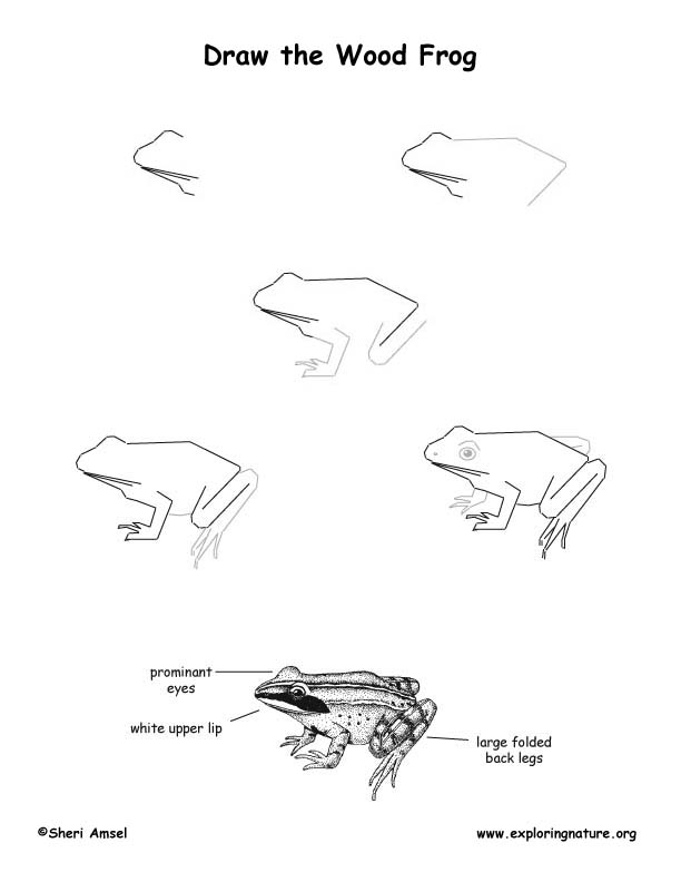 Line Drawing Frog : Frogs line drawing images