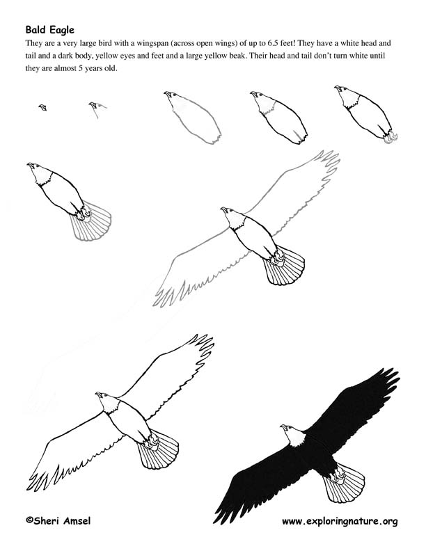 Eagle (Bald) Drawing Lesson