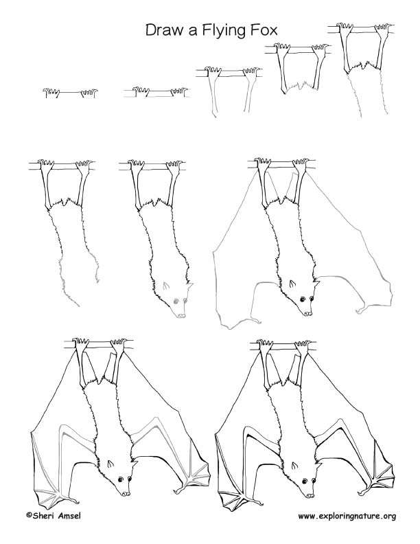 Bat (Flying Fox) Drawing Lesson, Flying Fox Drawing Lesson, Bat Drawing Lesson