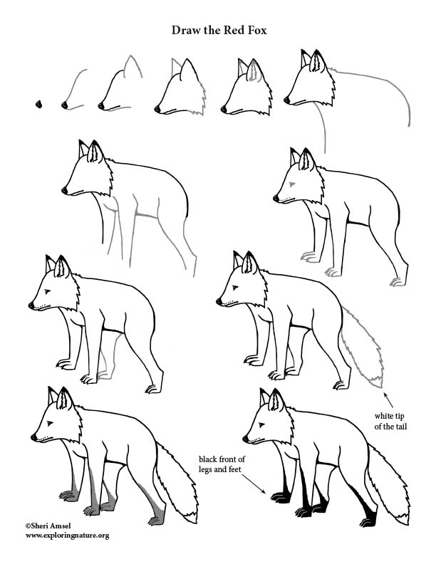Fox (Red) Drawing Lesson, how to draw a fox