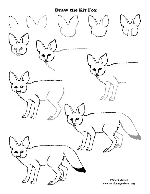 Kit Fox Drawing images & pictures - So funny animals