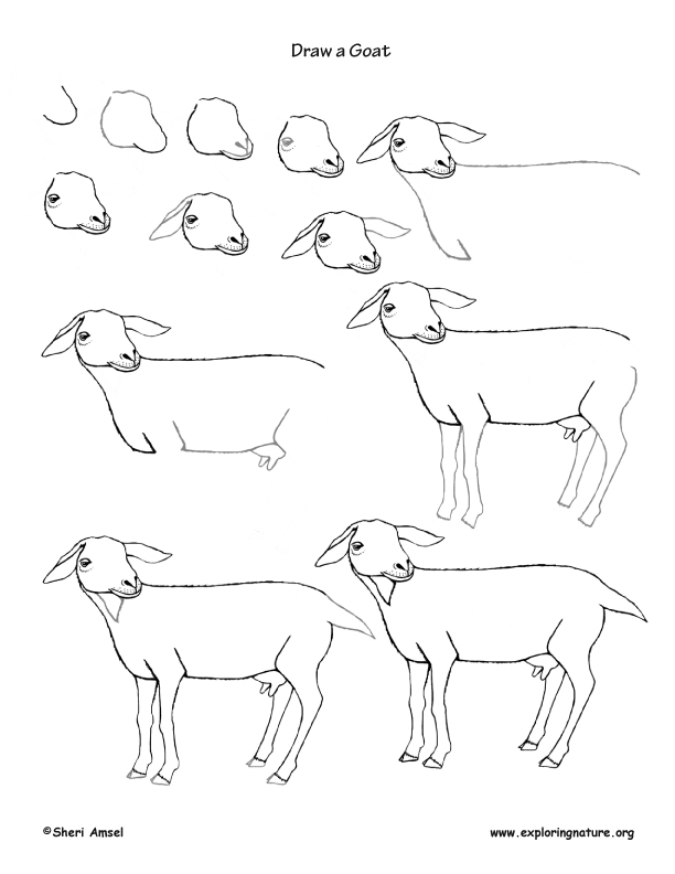Goat Drawing Lesson