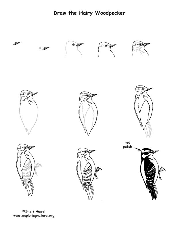 woodpecker hairy drawing lesson