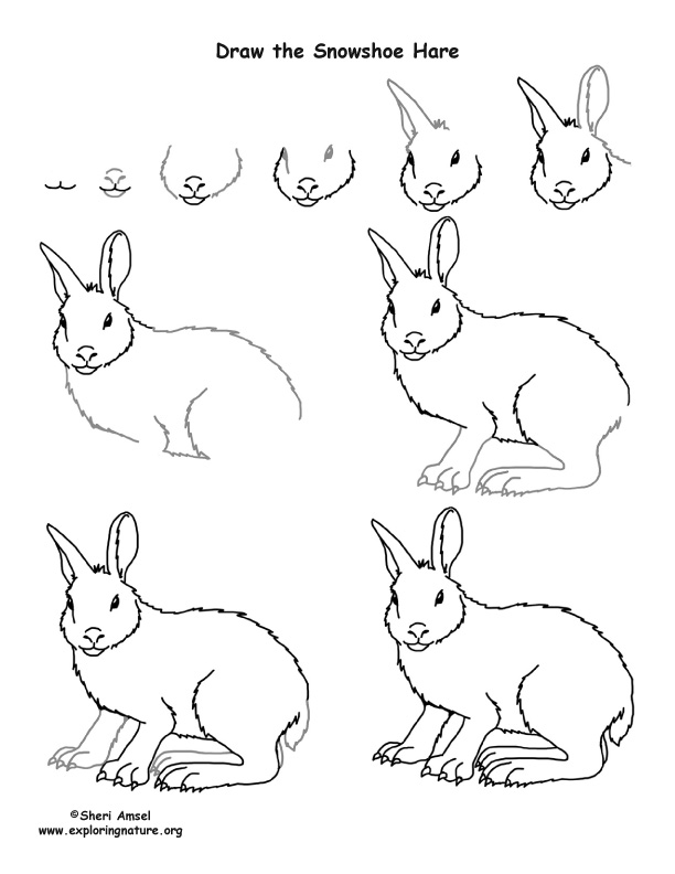 Hare (Snowshoe) Drawing Lesson