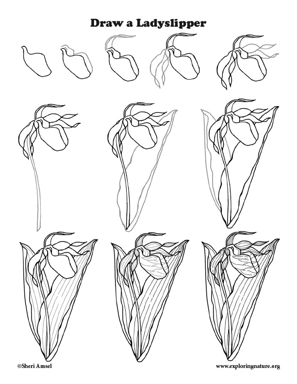Ladyslipper Drawing Lesson