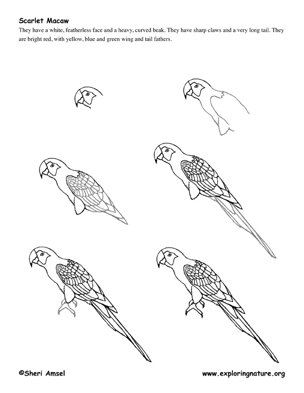 macaw  parrot  drawing lesson