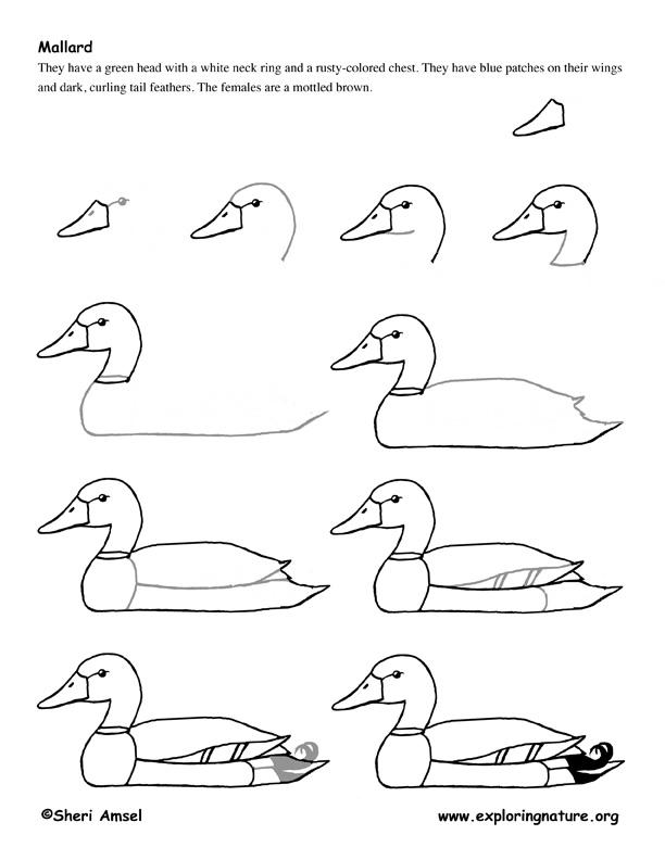 Duck (Mallard) Drawing Lesson