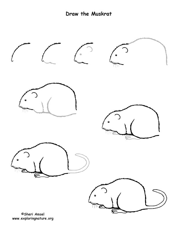 Muskrat Drawing Lesson, how to draw a muskrat