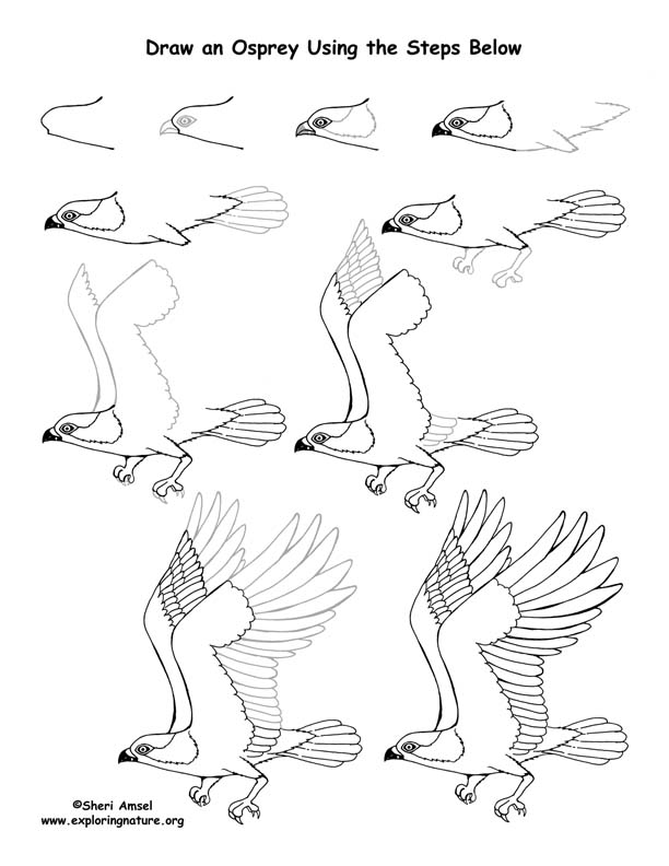 how to draw an osprey step by step
