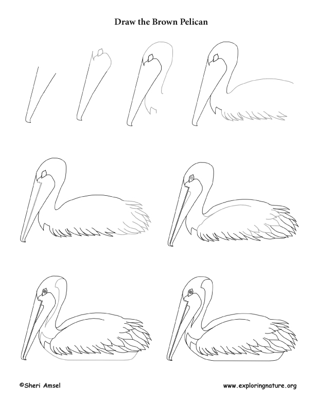 Brown Pelican Drawing Lesson