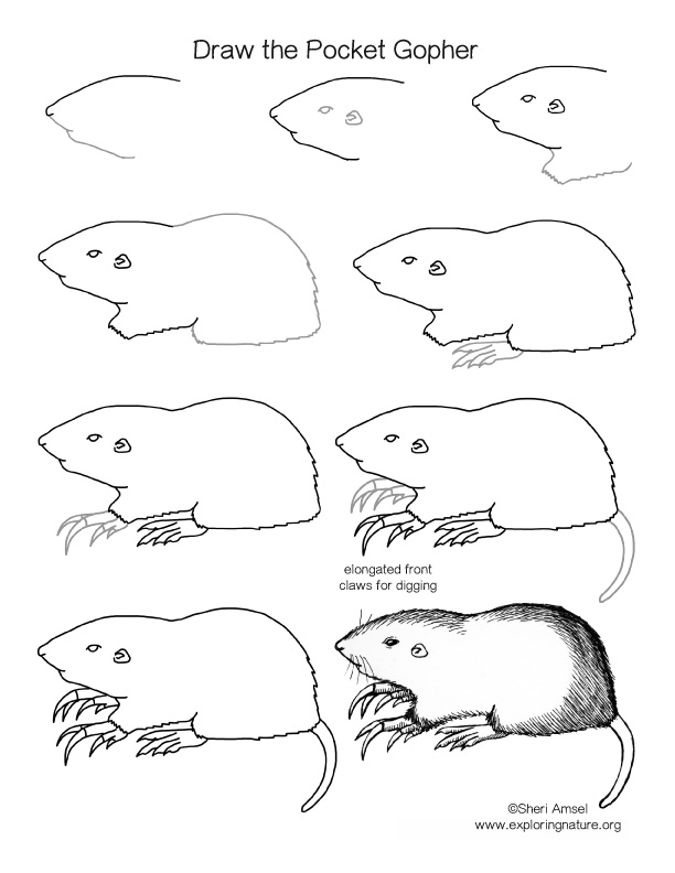 Pocket Gopher Drawing Lesson. How to draw a pocket gopher