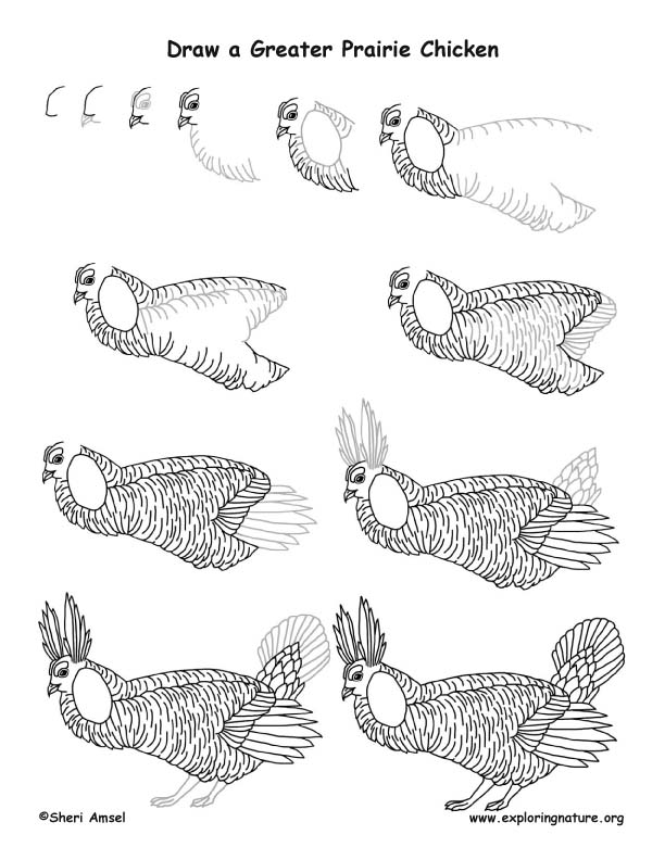greater prairie chicken drawing lesson