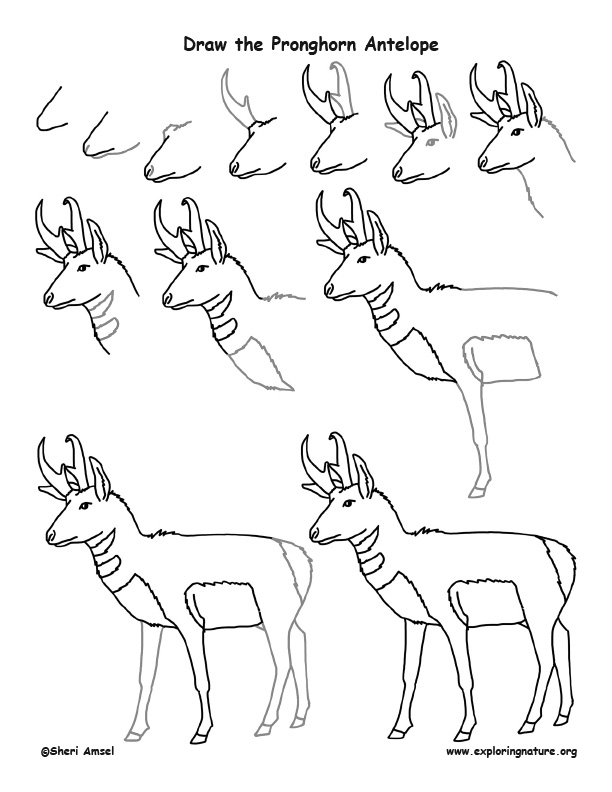 Pronghorn Antelope Drawing Lesson