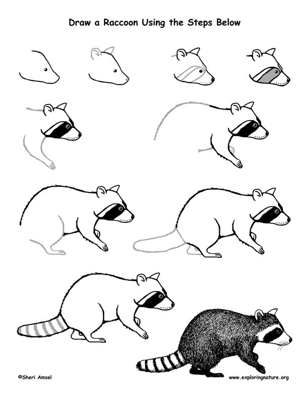 Raccoon Drawing Lesson Raccoon Drawing Easy