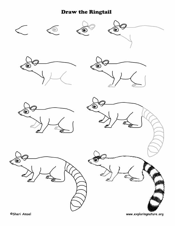 Ringtail Drawing Lesson