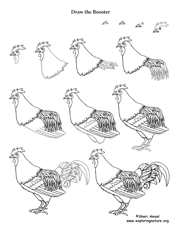 Rooster Drawing Lesson