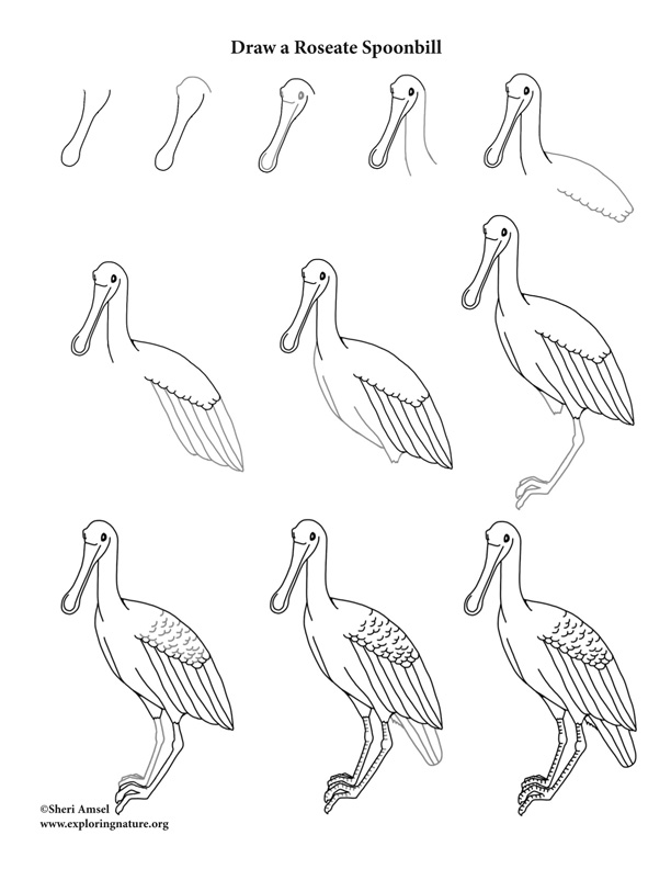roseate spoonbill drawing lesson
