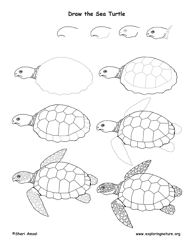 Sea Turtle Drawing Lesson