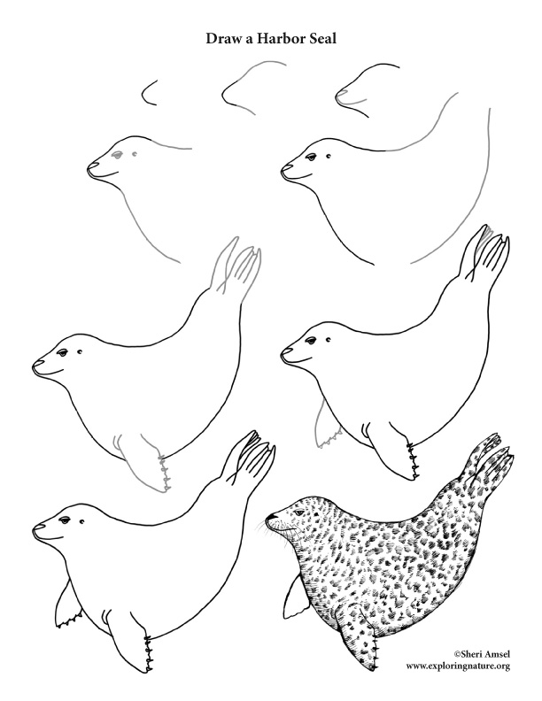 Harbor Seal Drawing Lesson
