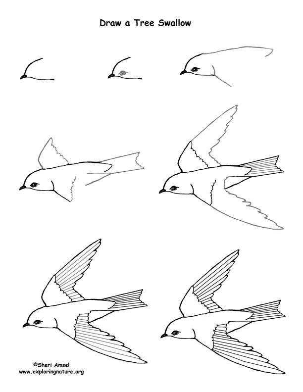 Tree Swallow Drawings