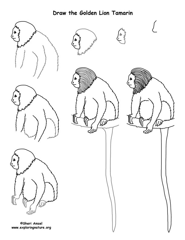 Golden Lion Tamarin Drawing Lesson