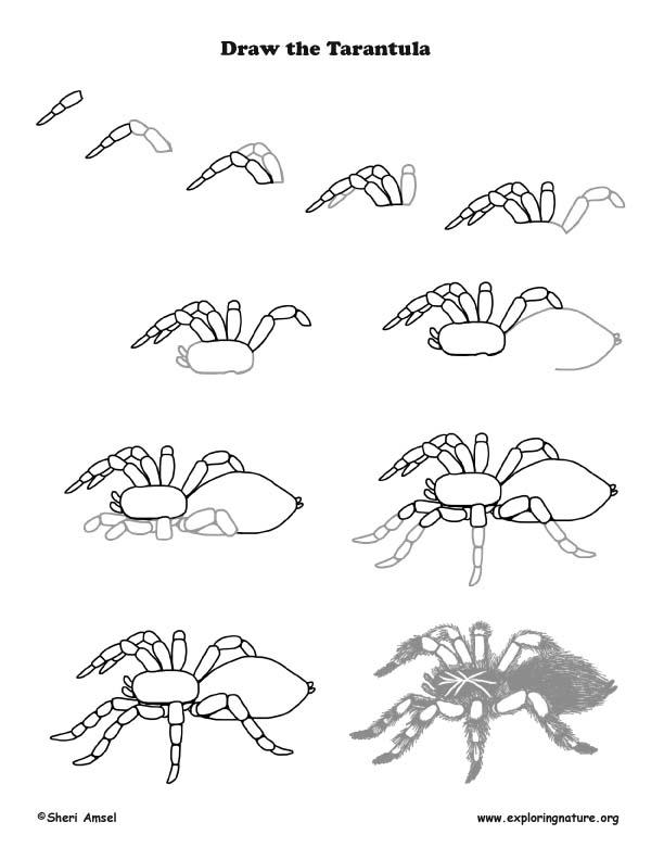 Tarantula Drawing Lesson
