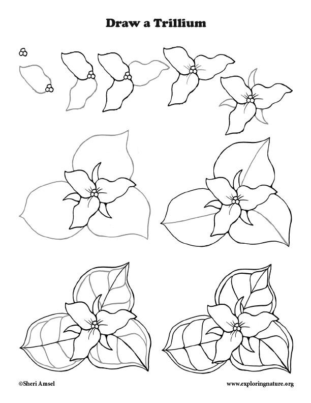 Trillium Drawing lesson