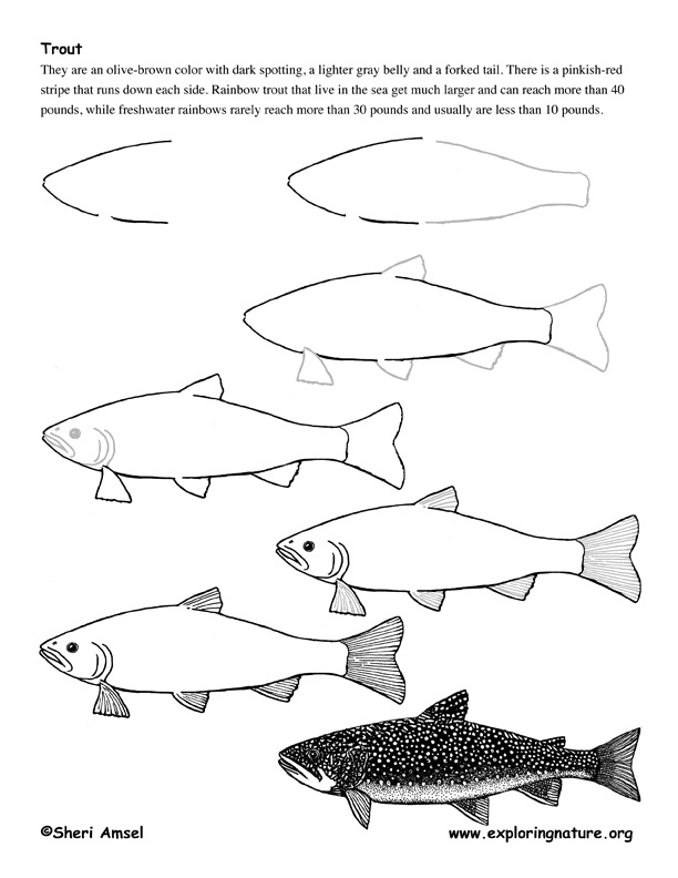 Trout Drawing Lesson