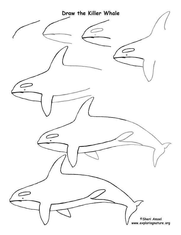 Whale killer drawing lesson