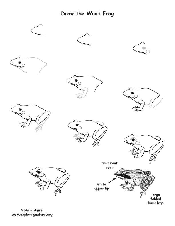 Wood Frog Drawing Lesson