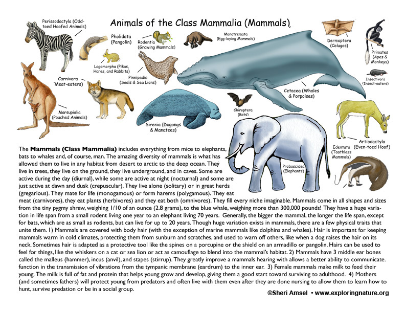 Class - Mammals (4th Grade and up)
