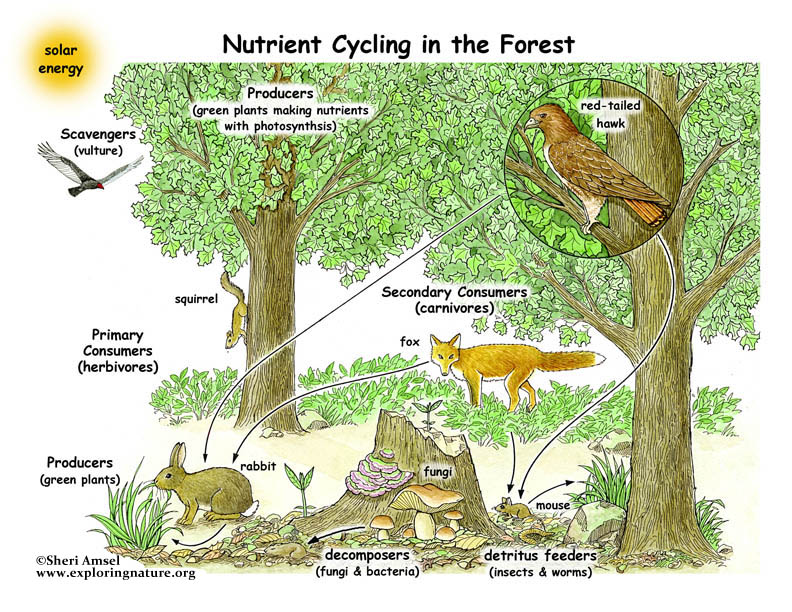 Nutrient Cycling in the Forest Illustrated and Labeled