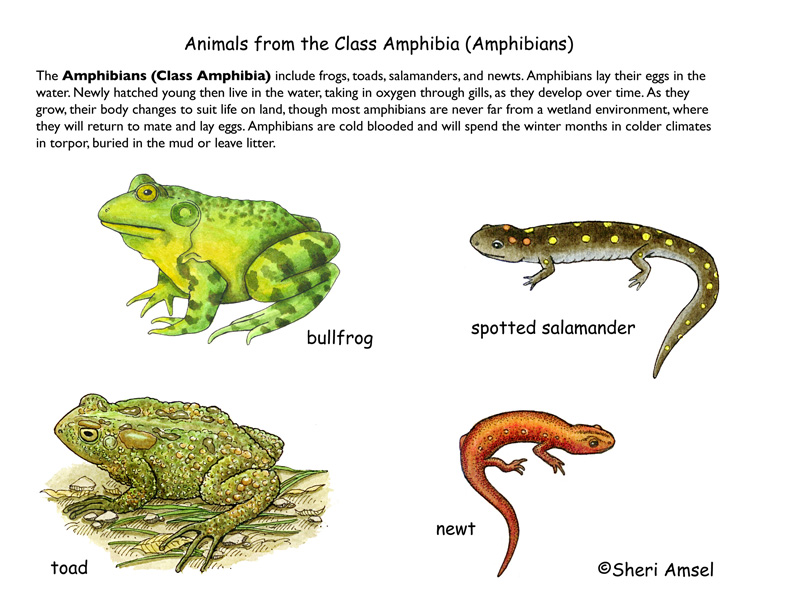 Class - Amphibians (4th Grade and up) 10 Examples Of Reptiles