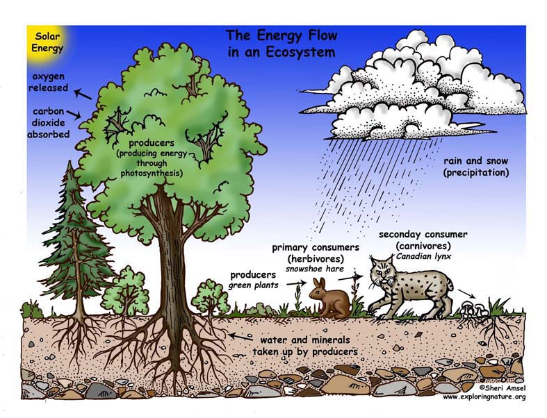 Energy Flow in an Ecosystem Illustrated and Labeled