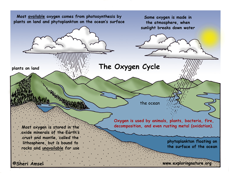 Oxygen Cycle Illustrated and Labeled