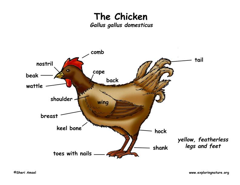Chicken anatomy diagram