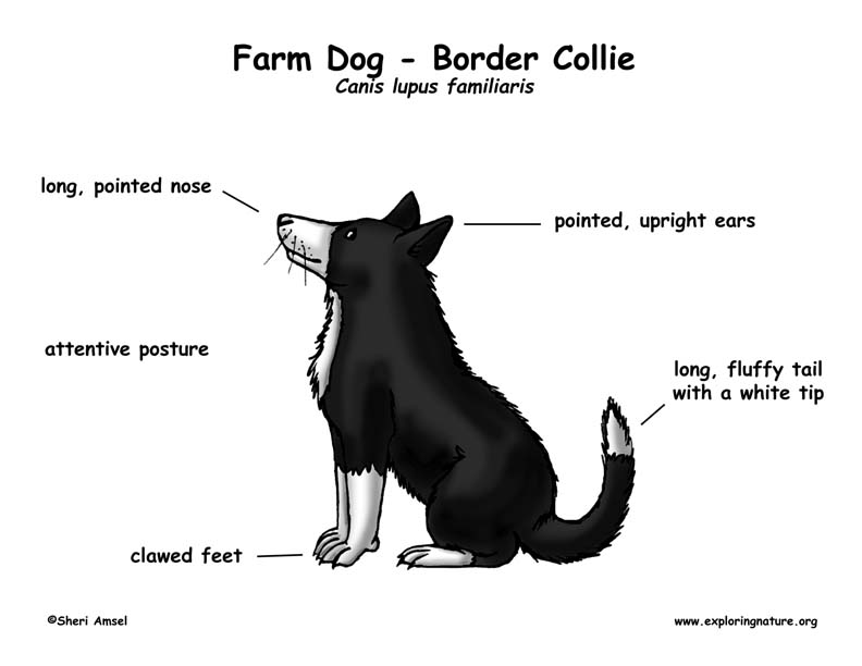 D B Farm Border Collies Farm Dog  Border Collie