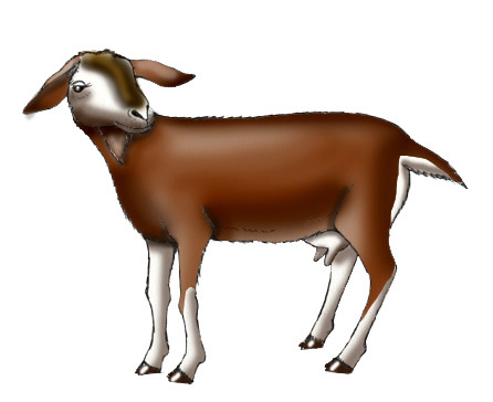 Female Goat