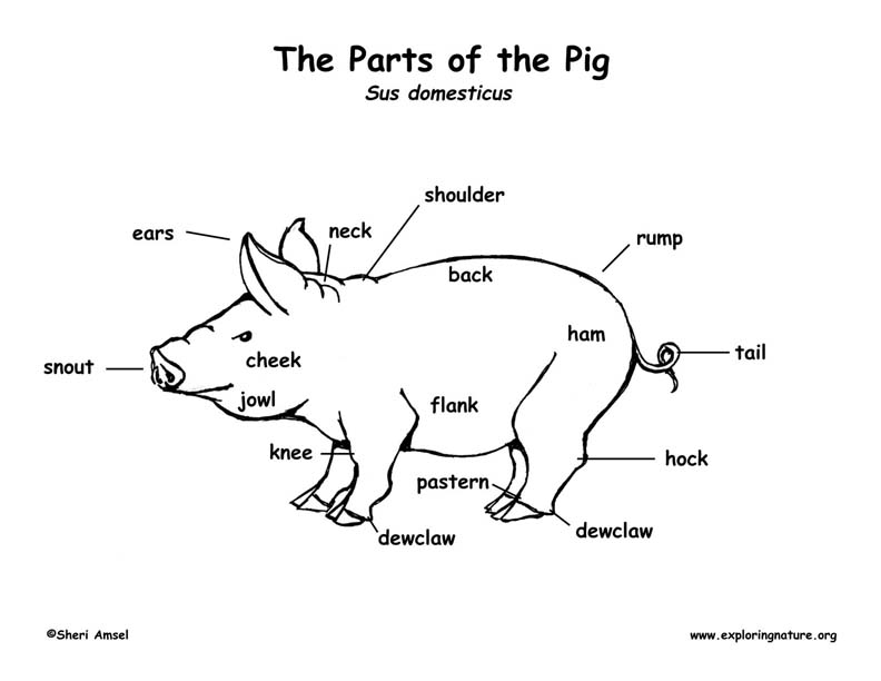Hog Body Parts Diagram - Auto Wiring Diagram Today •