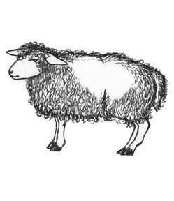 a female sheep is called a ewe