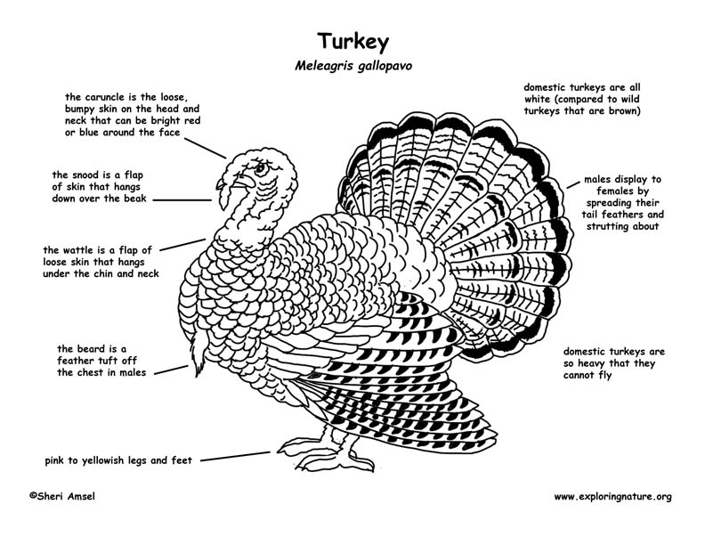 turkey body parts diagram turkey exploring nature