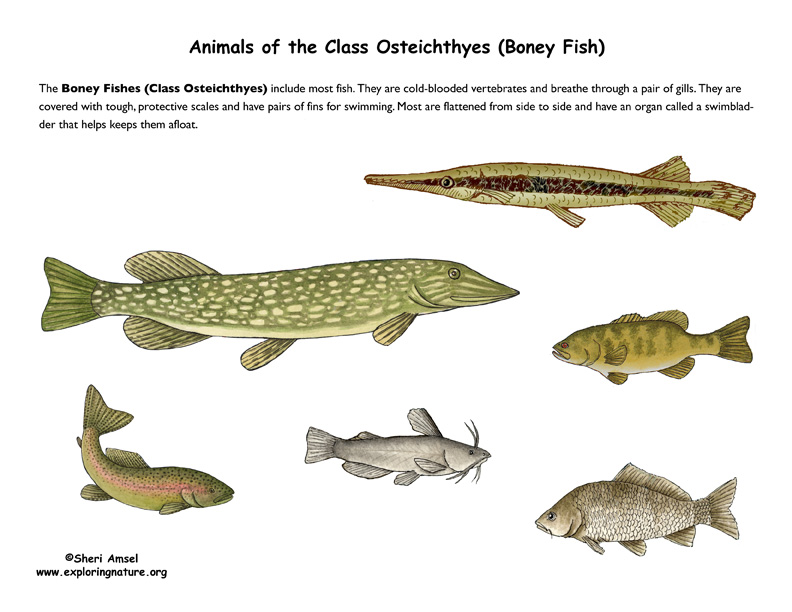 ABOUT FISH (Osteichthyes - Boney Fsh)