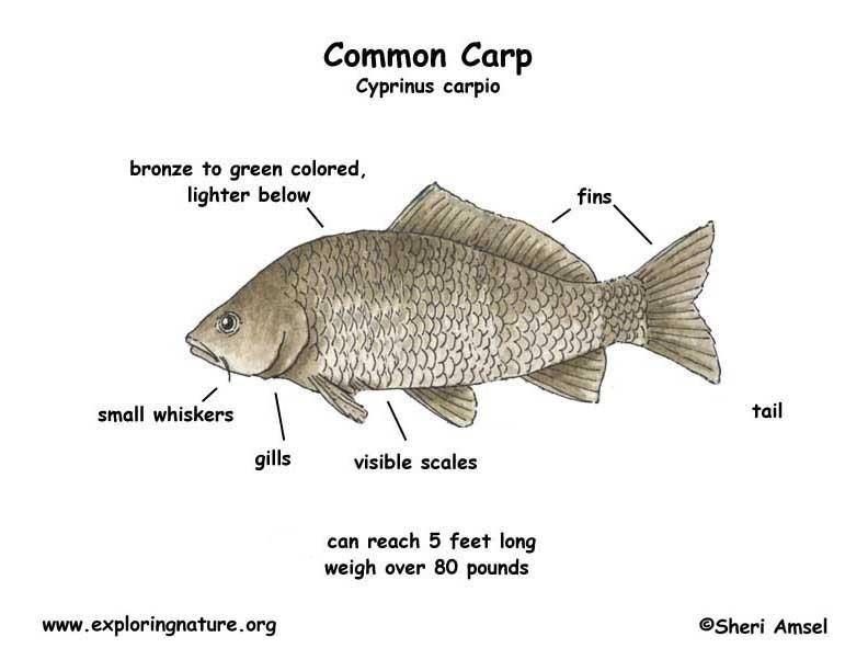 common carp fish diagram digitalspace info rh digitalspace info Atlantic Salmon Diagram Atlantic Salmon Diagram